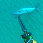 דייג בצלילה חופשית של פלמוד ענק - ירייה שנייה | אורי בינסטד