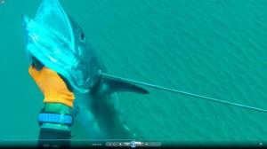 דייג בצלילה חופשית של פלמוד ענק