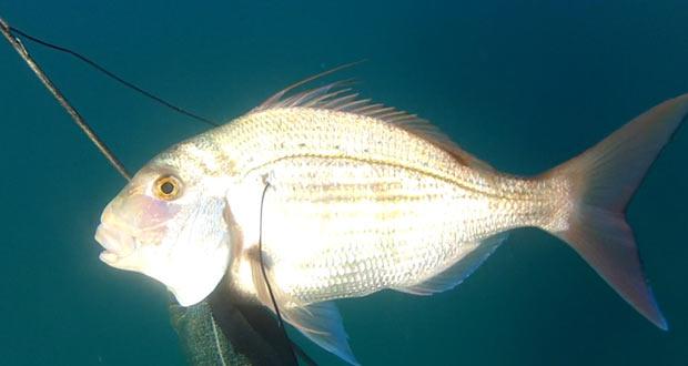 דייג בצלילה חופשית אורי בינסטד - פארידה אדומה במשקל 1.9קג