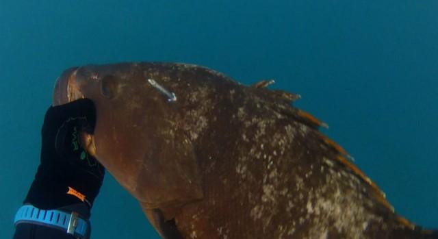 דייג בצלילה חופשית של לוקוס אדום דאור  במשקל 8 קילו