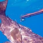 רובה דייג בצלילה חופשית - SeaWolf Predator 105 -דייג בצלילה חופשית של לוקוס אירדי 3 קילו