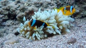 דגי ליצן בריף האלמוגים באילת מתוך צילום וידאו בגו פרו 4 בלאק